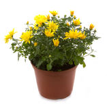 Chrysanthemum jaune image libre de droits