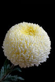 Chrysanthemum jaune-clair Photos libres de droits