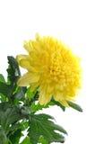 Chrysanthemum jaune d'isolement Photo libre de droits