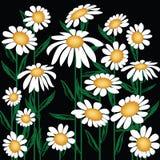 Chrysanthemum leucanthemum, May Queen, ox-eye royalty free illustration