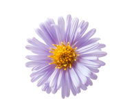 Chrysanthemum lilac Stock Photos