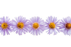 Chrysanthemum lilac Stock Image