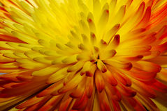 Chrysanthemum macro Stock Image