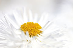 Chrysanthemum - RAW format Stock Image
