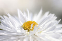 Chrysanthemum - RAW format Stock Photography