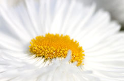 Chrysanthemum - RAW format Royalty Free Stock Images