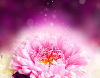 Chrysanthemum magical design Royalty Free Stock Photography