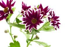 Chrysanthemum mix Stock Photo