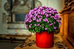 Chrysanthemum morifolium Stock Photos