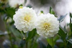 Chrysanthemum morifolium Florist`s daisy, Hardy garden mum Stock Images
