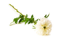 Chrysanthemum (mums) isolated Stock Photography
