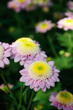 Chrysanthemum (mundial improved) Stock Photos