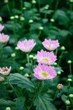 Chrysanthemum (Nan Nong Li Yun) Stock Photography