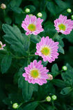 Chrysanthemum (Nan Nong Li Yun) Stock Photos