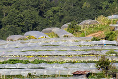 Chrysanthemum nursery Stock Photography