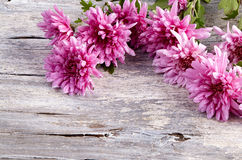 Chrysanthemum on old wooden background Stock Photos