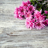 Chrysanthemum on old wooden background Royalty Free Stock Photo