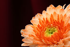 Chrysanthemum orange. Stock Images
