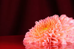 Chrysanthemum orange. Royalty Free Stock Photography