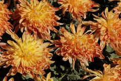 Chrysanthemum. The orange blossoms of a standard Chrysanthemum blooming in a garden at a park in Incheon, South Korea royalty free stock photos