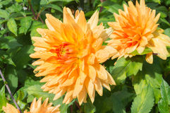 Chrysanthemum. Orange Chrysanthemums in garden... with the drops of dew visible on the patels Royalty Free Stock Image