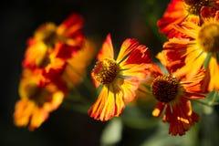 Chrysanthemum. Orange flowers of the chrysanthemum Stock Photo