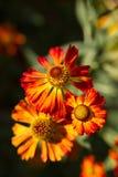 Chrysanthemum. Orange flowers of the chrysanthemum Royalty Free Stock Photography