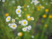 Chrysanthemum Ox Eye Daisy Seads royalty free stock image