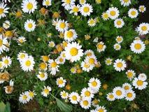 Chrysanthemum paludosum stock images