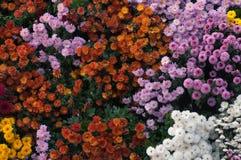 Chrysanthemum panel Royalty Free Stock Photography