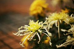 Chrysanthemum. Is a perennial perennial herb of Compositae and  in plant taxonomy. According to the cultivation form, it is divided into the cultivation types stock photo