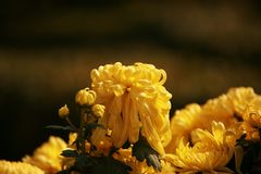 Chrysanthemum. Is a perennial perennial herb of Compositae and  in plant taxonomy. According to the cultivation form, it is divided into the cultivation types royalty free stock photo