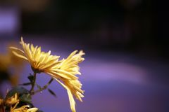 Chrysanthemum. Is a perennial perennial herb of Compositae and  in plant taxonomy. According to the cultivation form, it is divided into the cultivation types royalty free stock image