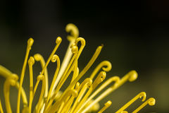 Chrysanthemum petal Stock Images