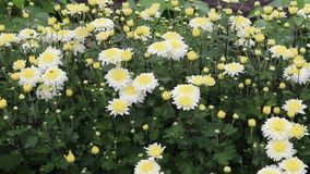 Chrysanthemum. Photography was taken in a small Bulgarian farm stock video footage