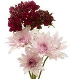 Chrysanthemum and pincushion flower Stock Photography