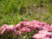 Chrysanthemum Pink Royalty Free Stock Image