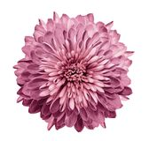 Chrysanthemum pink. Flower on isolated white background with clipping path without shadows. Close-up. For design. Nature stock images
