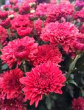 Red Chrysanthemum Flowers Stock Image