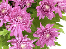 Chrysanthemum. Pink flowers on white royalty free stock photography