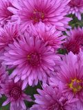 Chrysanthemum with pink petals stock image