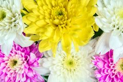 Chrysanthemum pink yellow and white in flower bouquet Royalty Free Stock Image