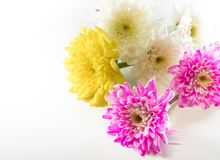 Chrysanthemum pink yellow and white in flower bouquet Royalty Free Stock Images