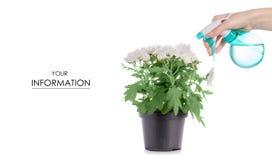 Chrysanthemum plant flower pulverizer in hand pattern stock photos