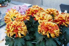 Chrysanthemum plant on a tombstone stock images