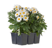 Chrysanthemum plants Stock Photo