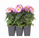 Chrysanthemum plants Stock Photos