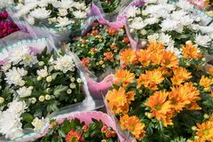 Chrysanthemum plants packaged in plastic. Stock Photos