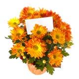 Chrysanthemum in a pot Stock Image