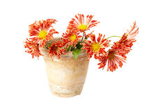 Chrysanthemum in pot Stock Photos